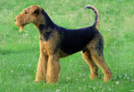 Toiletter l'Airedale-Terrier