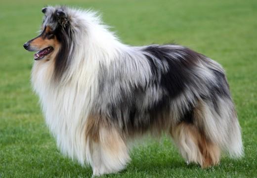 Préserver l'integrité du poil du chien