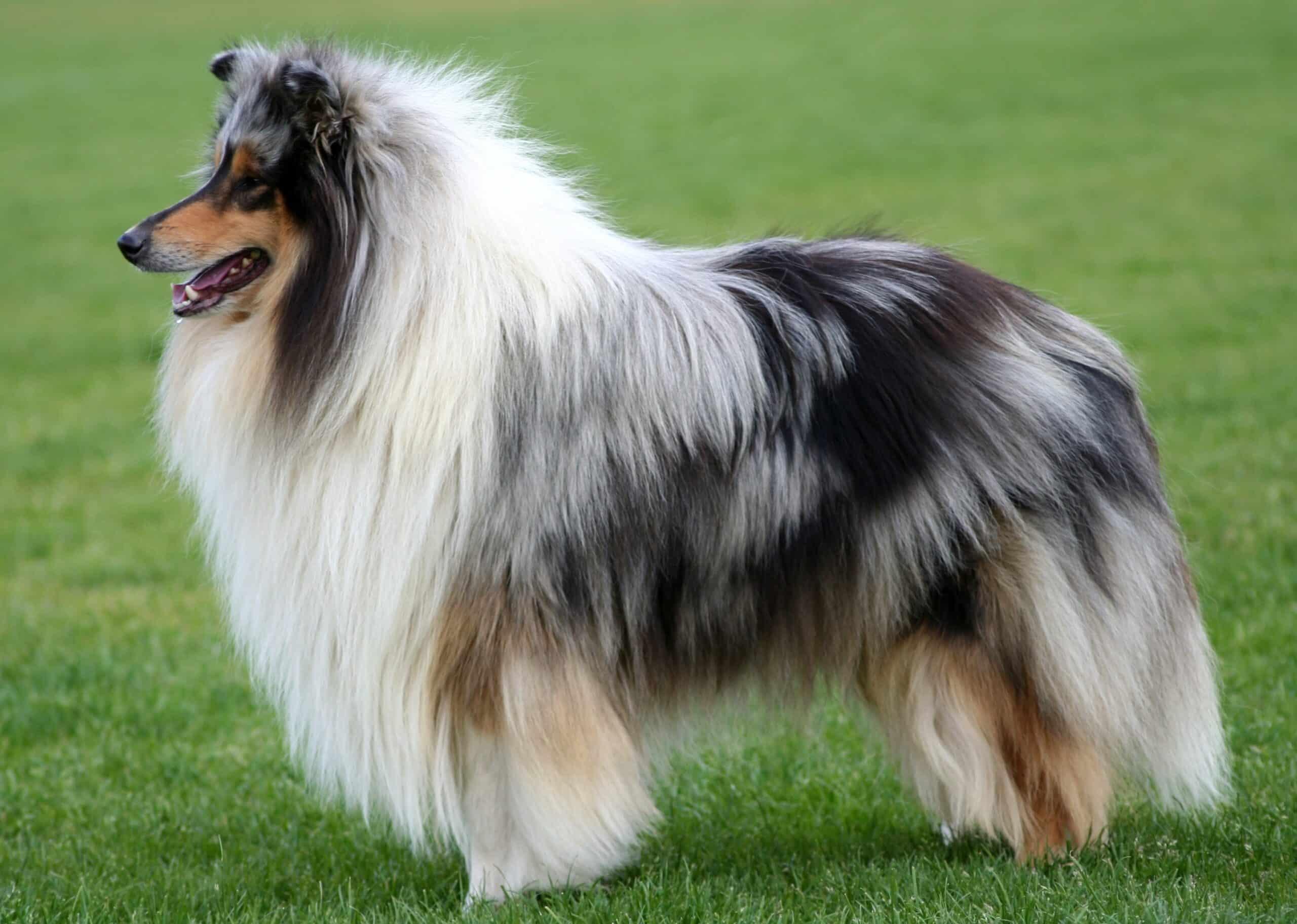 poil chien