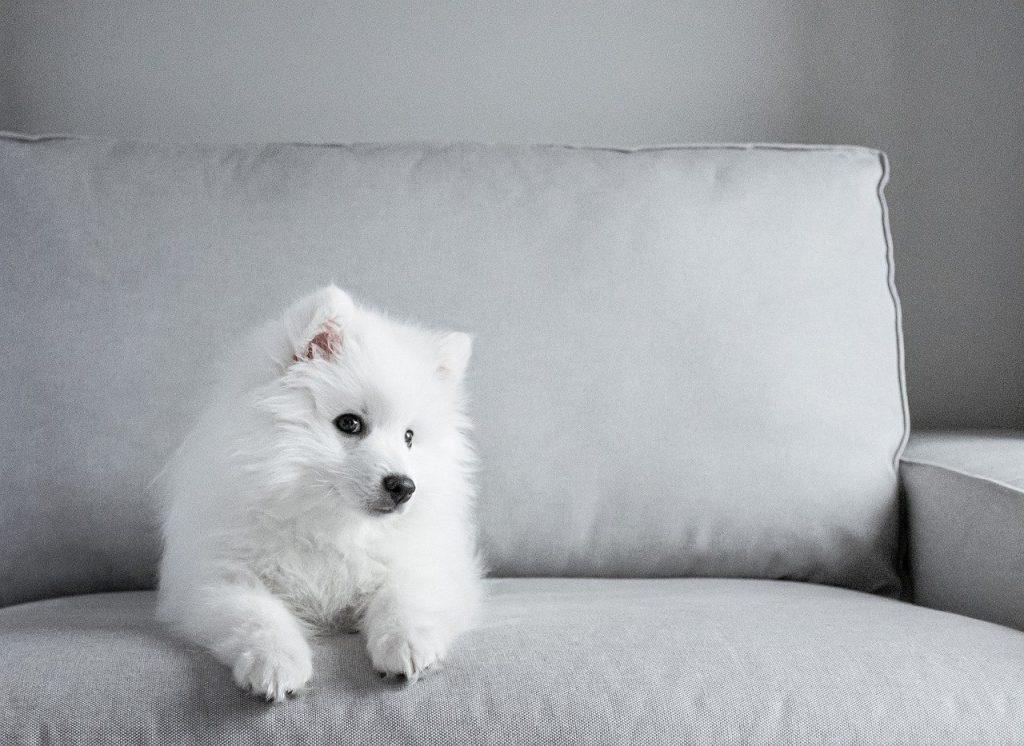 petit chien blanc assis sur un canapé