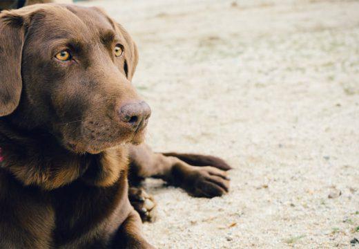 Qu'est-ce que la maladie de cushing chez le chien ?