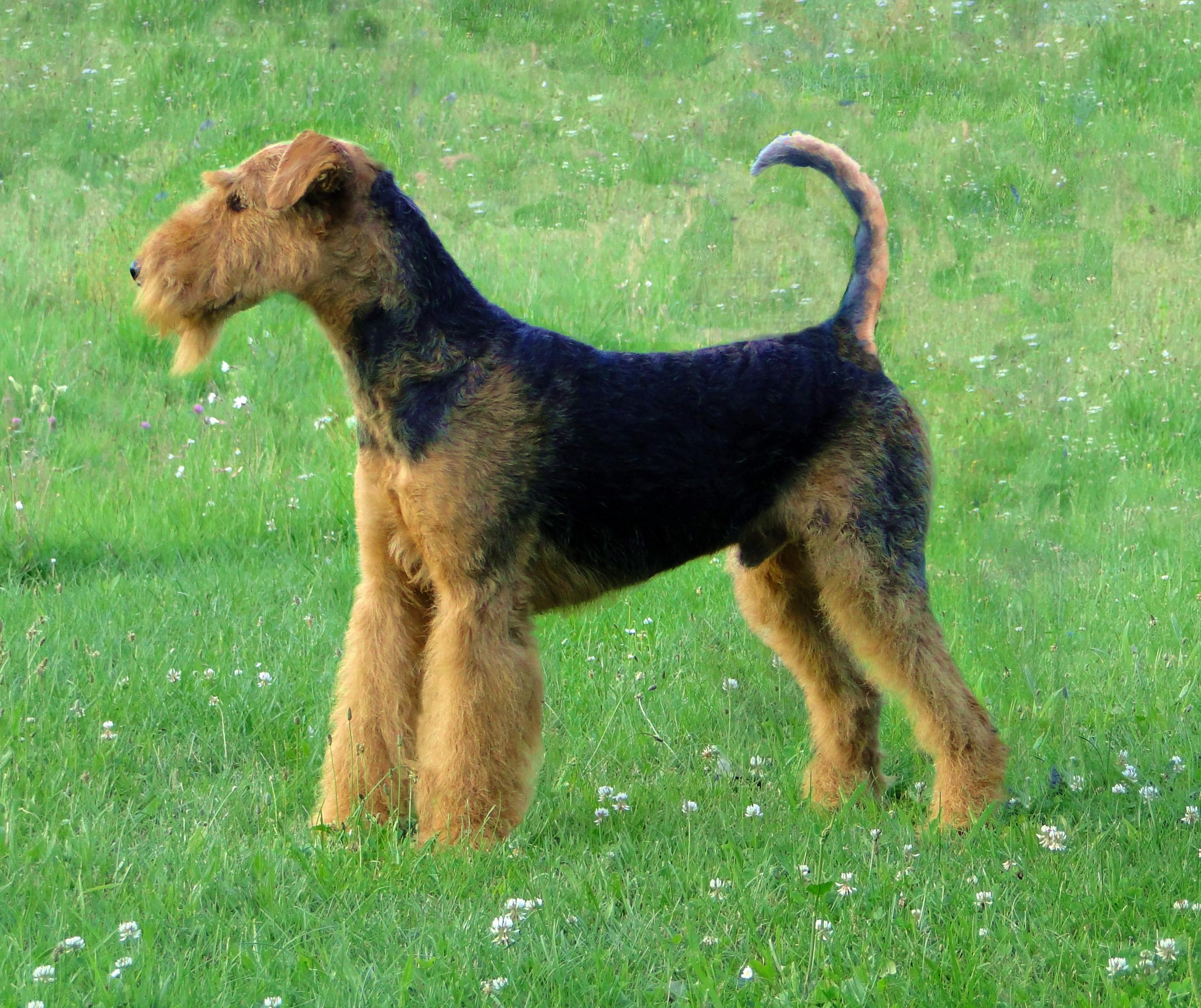 Airedale-terrier-toilette