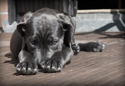 Votre chien est destructeur, que faire ?